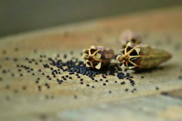 Маковые зерна