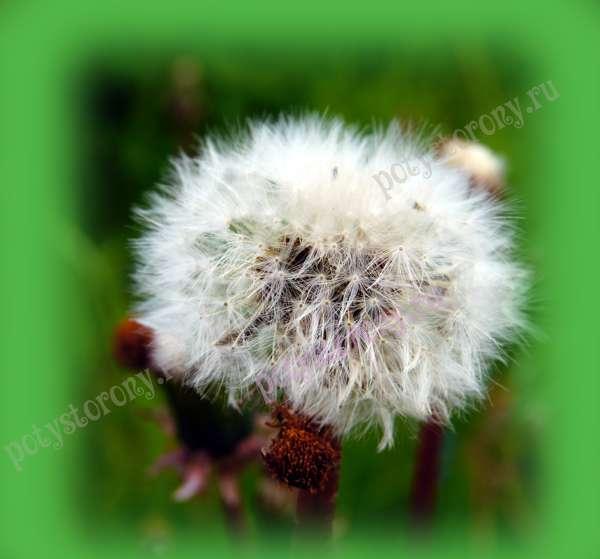 пушистый цветок