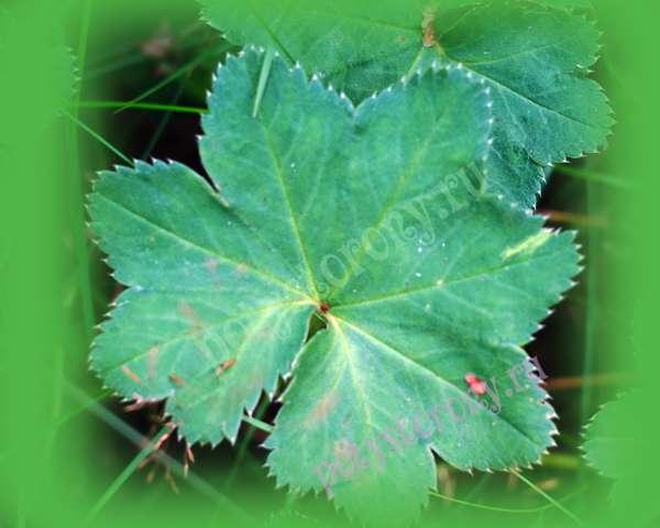 листья растения манжетка