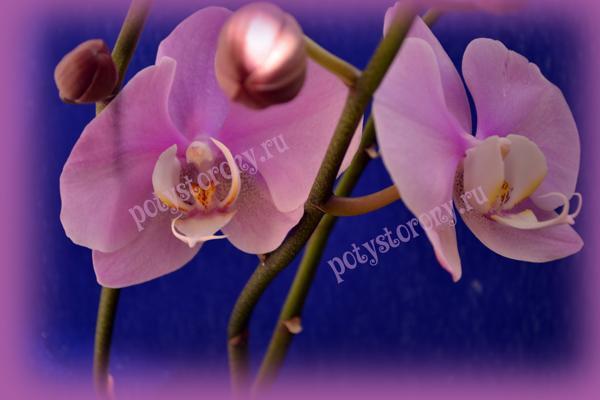 орхидея на подарок