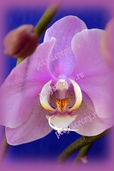 сердце цветка орхидеи
