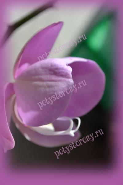прекрасные цветы орхидеи