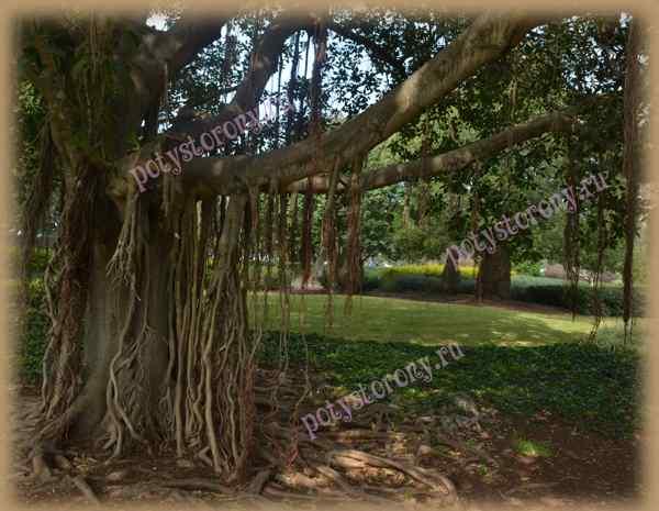 дерево фикуса