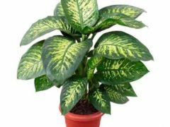 Диффенбахия в доме: приметы, вредные и полезные свойства растения