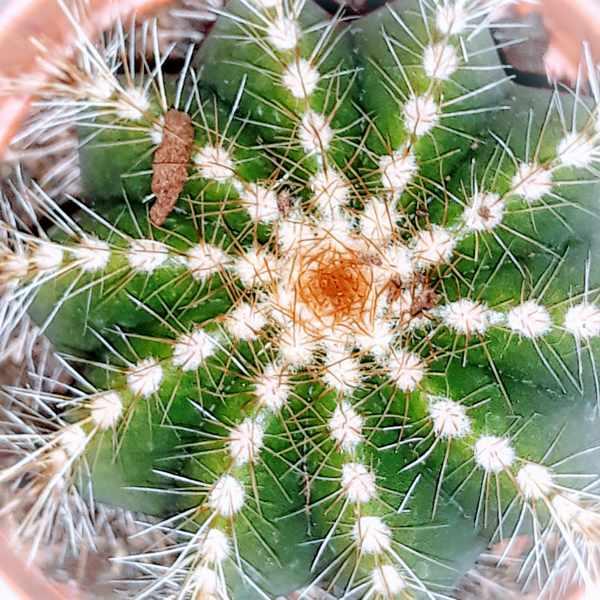 застревает в шипах кактуса