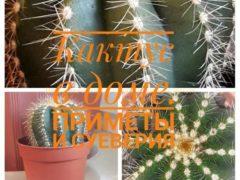 Приметы о кактусе в доме: положительное и отрицательное влияние
